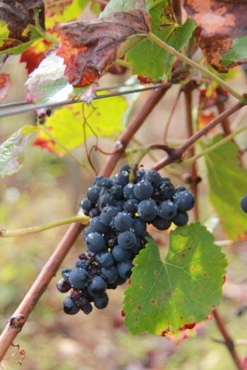 Uva Pinot Noir - um dos poucos cachos que ficaram pós-colheita