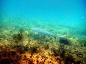 Tubarão na Baía de Sueste, em Noronha