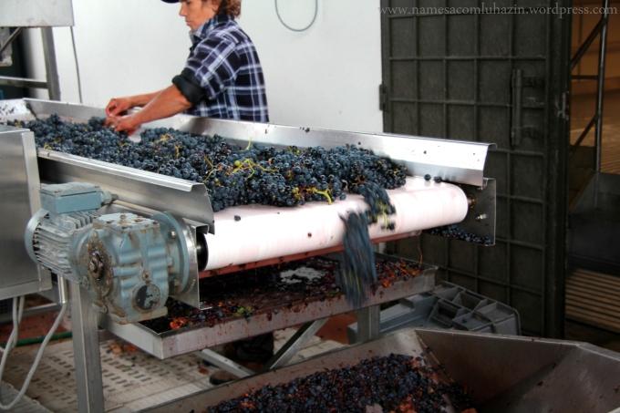 Uvas sendo selecionadas na chegada à vinícola