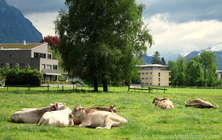 Bois descansam em pasto de Vaduz