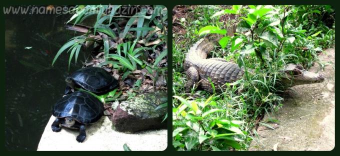 Tartarugas e jacaré no Bosque da Ciência (INPA).