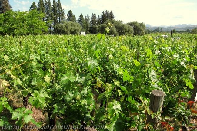 Plantação de uvas em Napa Valley