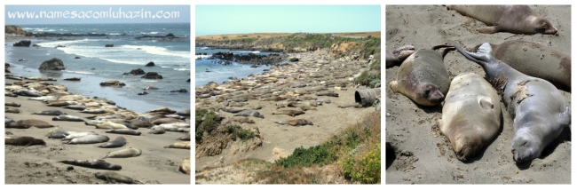 Elefantes marinhos tomam sol em praia da Highway 1