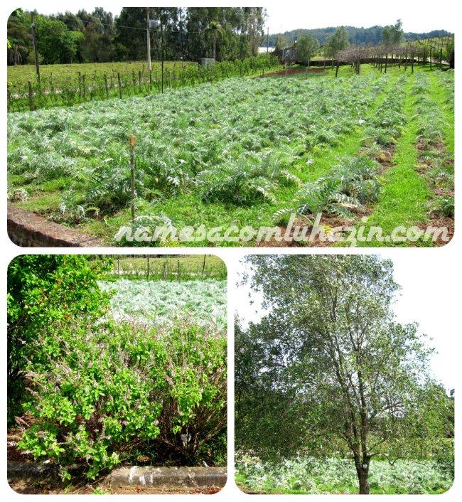 Plantação de alcachofras, um arbusto de manjericão e oilveira na Ravanello