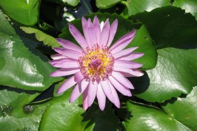 Uma variedade da Flor-de-lótus, comum na Ásia