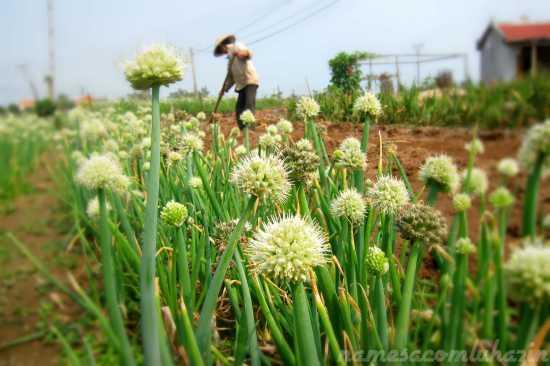 Plantação de cebolinho em Hoi An